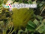 Wrangelia plumosa Harvey