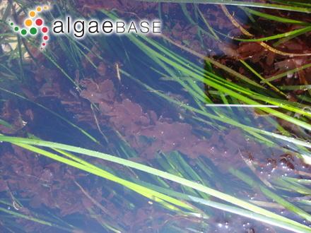 Scinaia furcellata f. complanata Collins