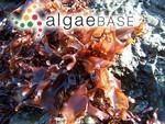 Gigartina papillata (C.Agardh) J.Agardh