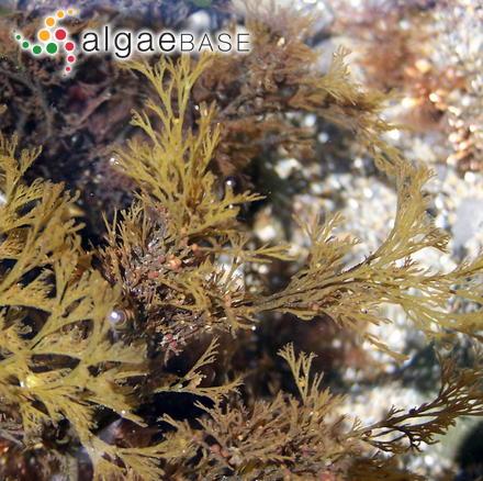 Membranoptera pygmaea (G.Martens) Kuntze