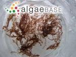 Odonthalia floccosa (Esper) Falkenberg