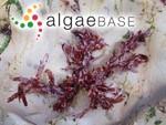 Rhodymenia palmata f. mollis Setchell & N.L.Gardner
