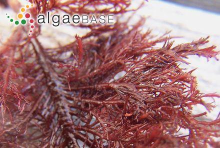 Myrionema attenuatum var. trichophora Hollenberg