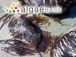 Porphyra perforata f. lanceolata Setchell & Hus