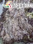Gigartina plicata var. simplicior Lyngbye