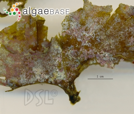 Porphyra atropurpurea (Olivi) De Toni