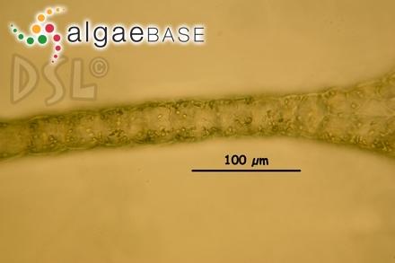 Acrochaetium botryocarpum (Harvey) J.Agardh