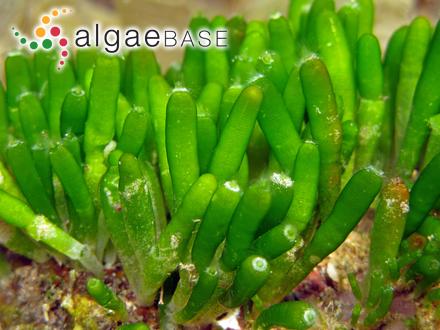 Fucus aculeatus Linnaeus