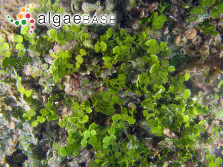 Pseudolithophyllum lobatum (Me.Lemoine) M.L. Mendoza & Cabioch