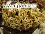 Hydroclathrus clathratus (C.Agardh) M.Howe