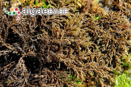 Spyridia spinella Sonder