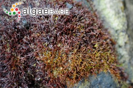 Meristotheca gigartinoides A.B.Joly & Ugadim ex A.B.Joly <i>et al.</i>