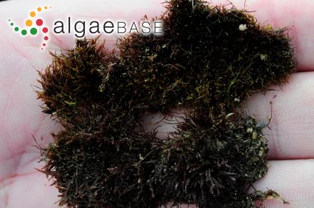 Acrochaetium zosterae Papenfuss