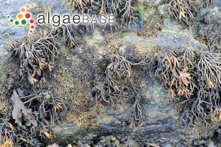 Catenella caespitosa (Withering) L.M.Irvine