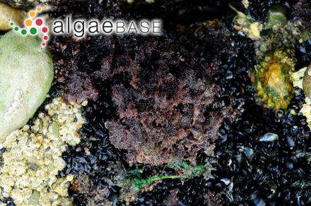 Grallatoria tingitana (Schousboe ex Bornet) I.A.Abbott
