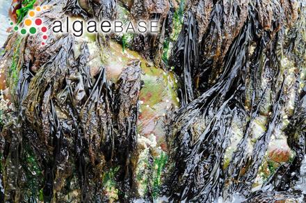 Callithamnion gracillimum C.Agardh