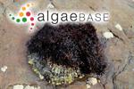 Gelidium pulchellum (Turner) Kützing