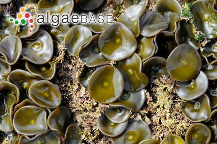 Zonaria variegata (J.V.Lamouroux) C.Agardh