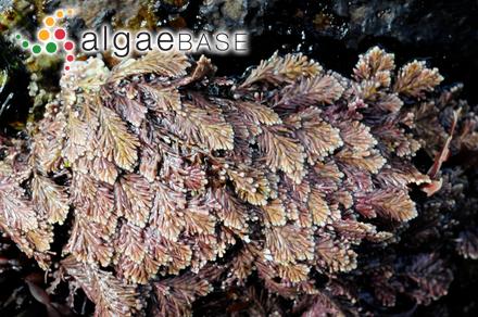 Gonodia pulvinata f. chordae (Areschoug) Rosenvinge