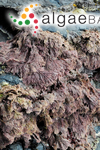 Corallina caespitosa R.H.Walker, J.Brodie & L.M.Irvine