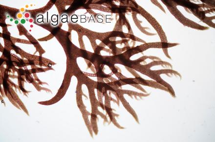 Ectocarpus conifer Børgesen