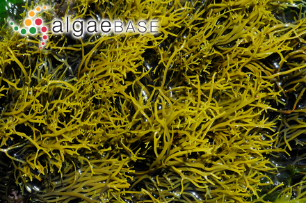 Blidingia marginata subsp. subsalsa (Kjellmann) Bliding