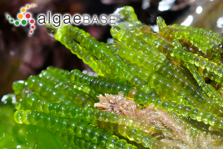 Kornmannia zostericola (Tilden) Bliding