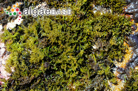Cystoseira ercegovicii f. schiffneri (Hamel) Giaccone