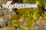Rhodoglossum gigartinoides (Sonder) Edyvane & Womersley