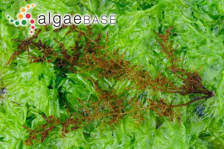 Fosliella farinosa f. callithamnioides (Falkenberg) Y.M.Chamberlain