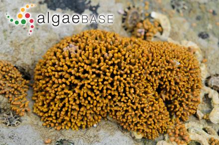 Gigartina spinosa var. runcinata (Grunow) Reichardt
