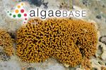 Spongites hyperellus (Foslie) Penrose