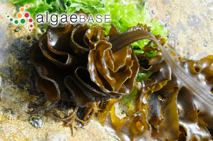 Hypnea musciformis var. divaricata (C.Agardh) Harvey