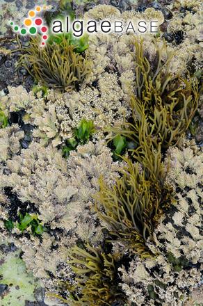 Xiphophora chondrophylla (R.Brown ex Turner) Montagne ex Harvey