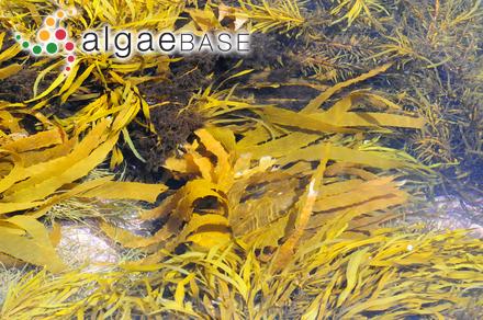 Nereidea mertensii (Greville) Kuntze