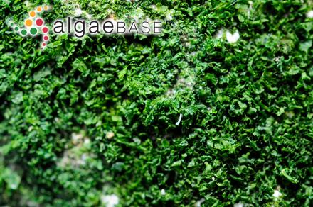 Thamnophora procera (C.Agardh) J.Agardh