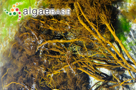 Audouinella sanctae-thomae (Børgesen) Garbary