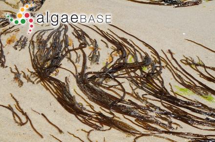 Polycavernosa fastigiata C.F.Chang & B.M.Xia