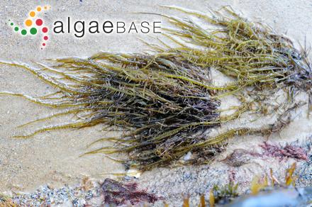 Gracilaria denticulata (Kützing) Weber-van Bosse