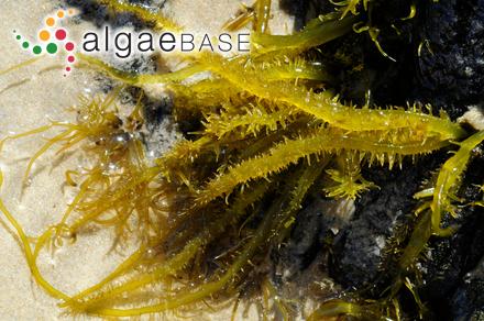 Calocladia pulchra (Greville) J.Agardh