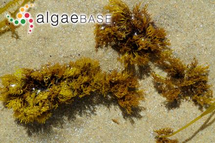 Ahnfeltiopsis fastigiata J.A.Lewis & Womersley