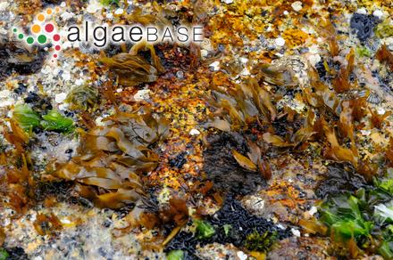 Rhabdonia racemosa J.Agardh