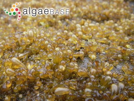 Gracilaria mixta I.A.Abbott, J.Zhang & B.M.Xia