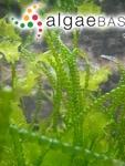 Chaetomorpha coliformis (Montagne) Kützing
