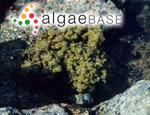 Iyengaria stellata (Børgesen) Børgesen