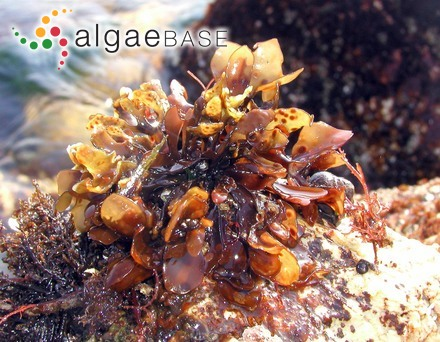 Sargassum ensifolium (C.Agardh) J.Agardh