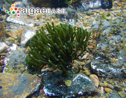 Hydrolithon oligocarpum (Foslie) Foslie