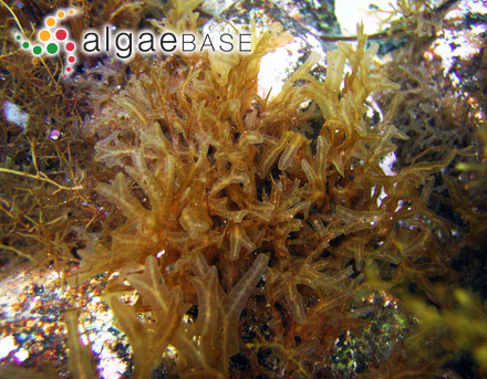 Dictyota apiculata J.Agardh