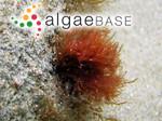 Fucus capillaris Hudson