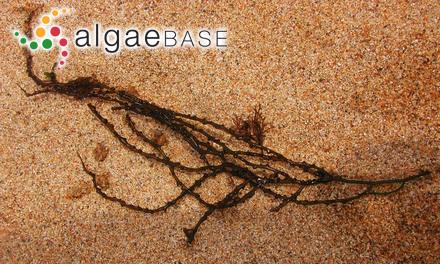 Spatoglossum nigrescens (Sonder) Kützing